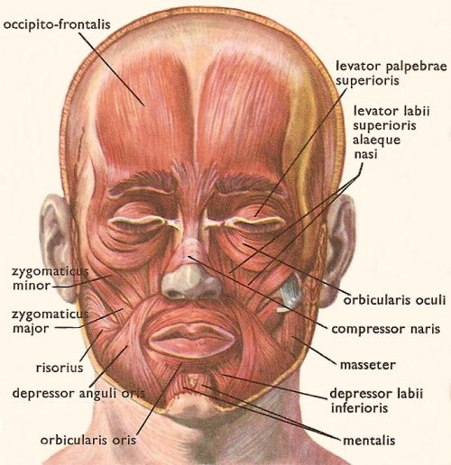 under chin muscle diagram work your facial muscles  porcelain prologue  work your facial muscles  porcelain